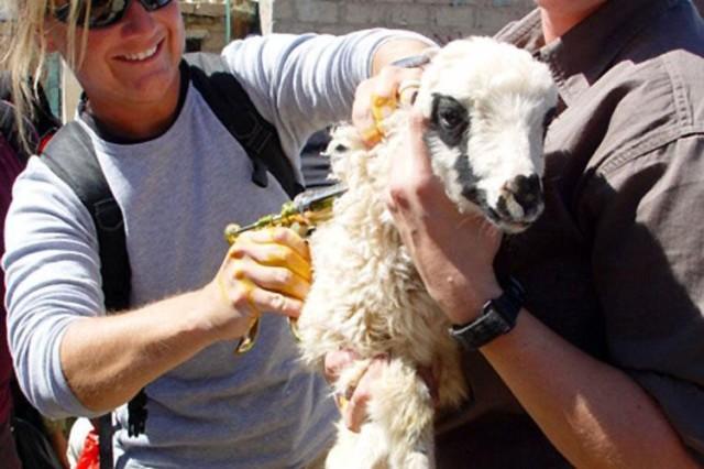 Goat care in Yemen