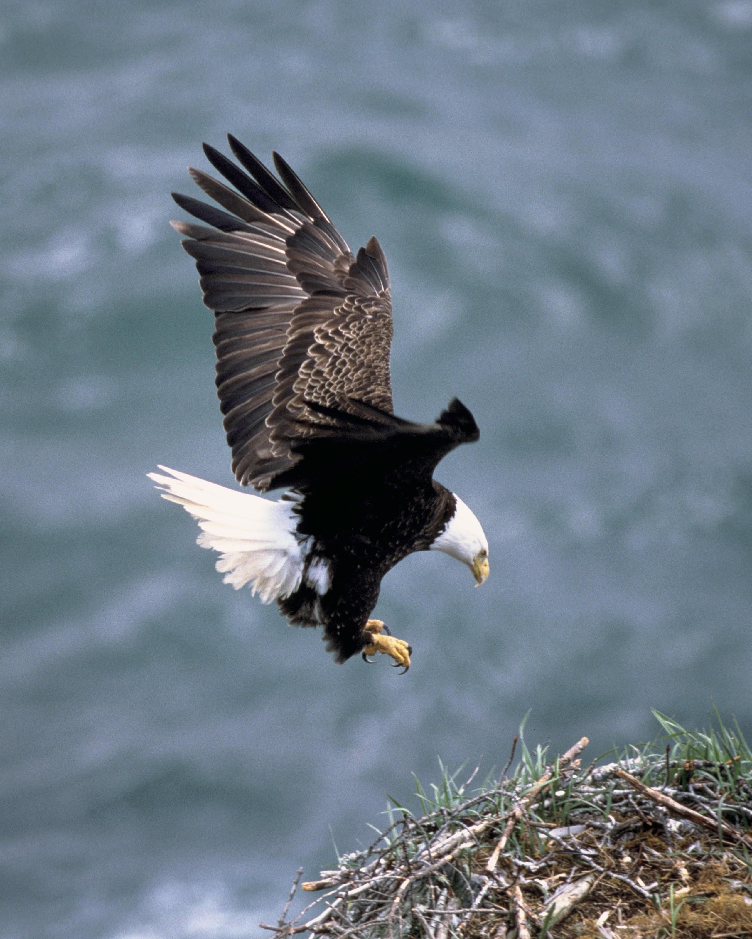 Bald eagle: photo and description, habitat, nutrition and reproduction 98