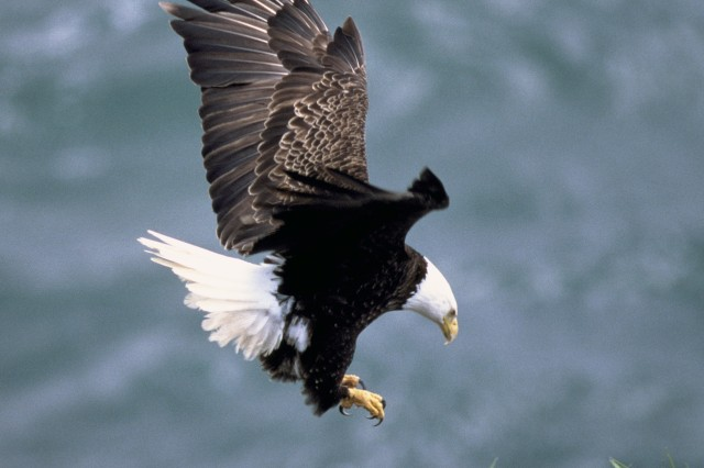 The Bald Eagle is found on or near 58 Army installations in the continental United States.