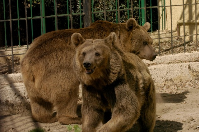 'Sameer' (back), a seven-year-old Iraqi Brown Bear, and four-year-old 'Lamiyah,' get a feel for their new home at the Baghdad Zoo's new bear habitat during its official opening Nov. 1.