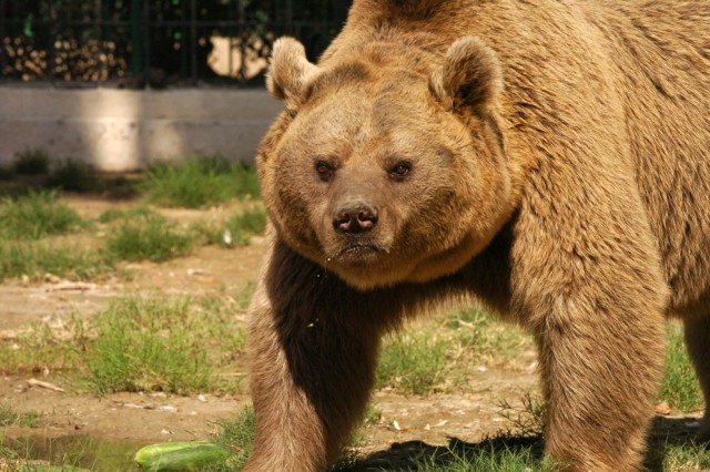 'Sameer,' a seven-year-old Iraqi Brown Bear, gets a feel for his new home at the Baghdad Zoo's new bear habitat during its official opening Nov. 1.