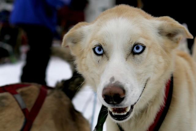 Rodney Whaley's favorite sled dog.