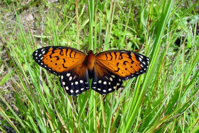 The regal fritillary butterfly is an endangered species protected on Fort Indiantown Gap, Pa.