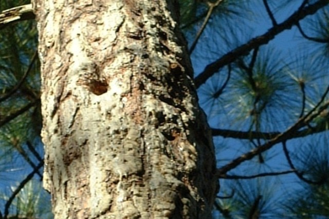 Red-cockaded woodpeckers build nest cavities in a longleaf pine, a unique tree species native to the area.