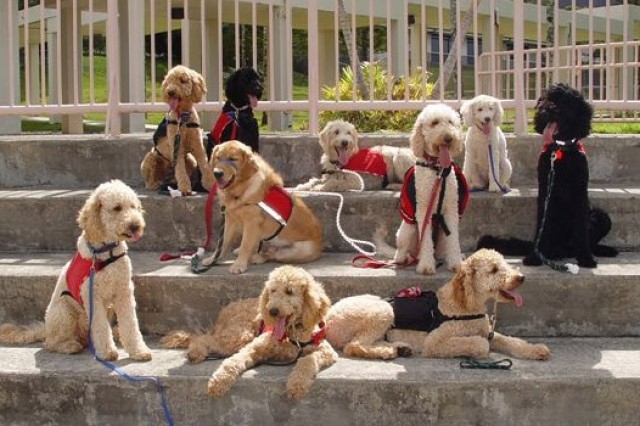 WAHIAWA, Hawaii - Donated and specially bred service dogs of Hawaii Fi-Do pause for a photograph during a training session. The specially trained dogs provide physical, psychological and therapeutic support for people who face the daily challenges of life with a disability other than blindness.