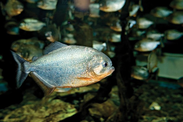 Piranhas look docile, but can devour a cow in minutes.