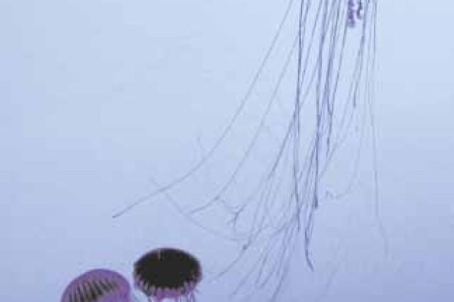 Jellyfish-like creatures called sea nettles float along like aquatic spirits at the Georgia Aquarium.  The Georgia Aquarium covers over 11 acres and contains over eight million gallons of fresh and salt water with about 120,000 fish and other aquatic creatures.