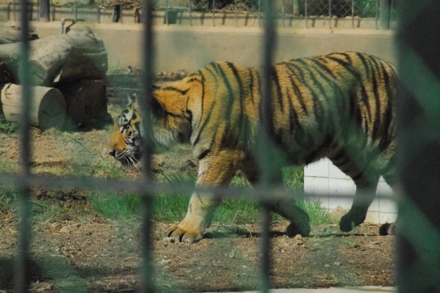 Riley, one of two tigers donated to the Baghdad Zoo by the Conservators' Center in North Carolina, paces his new enclosure at the Baghdad Zoo Aug. 8.  Riley, and his breeding partner Hope, arrived in Baghdad on Monday in good health and have settled in comfortably to their new homes, according to the Zoo's director.