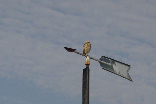 Burrowing Owl on weathervane at the Umatilla Chemical Depot. Photo courtesy of US Army.