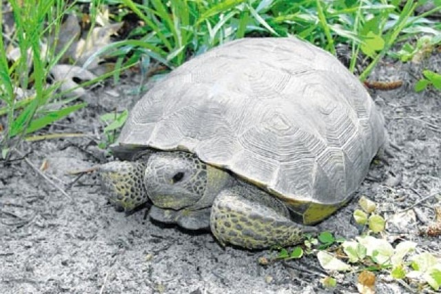 Fort Stewart-Hunter Army Airfield helps protect the Gopher tortoise, which is an indigenous species to the Georgia.