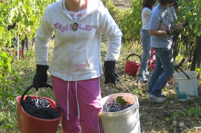 Erin Laverenz, 11, from the middle school on U.S. Army Garrison Livorno, Italy, hauls vineyard grapes to a nearby wagon during a Camp Darby Club Beyond volunteer event