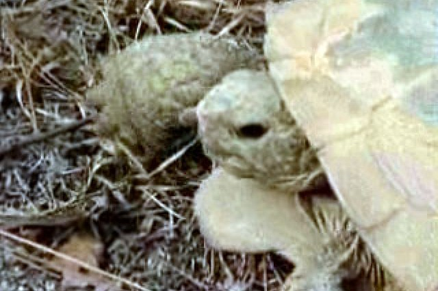 On the Green Beat: the gopher tortoise