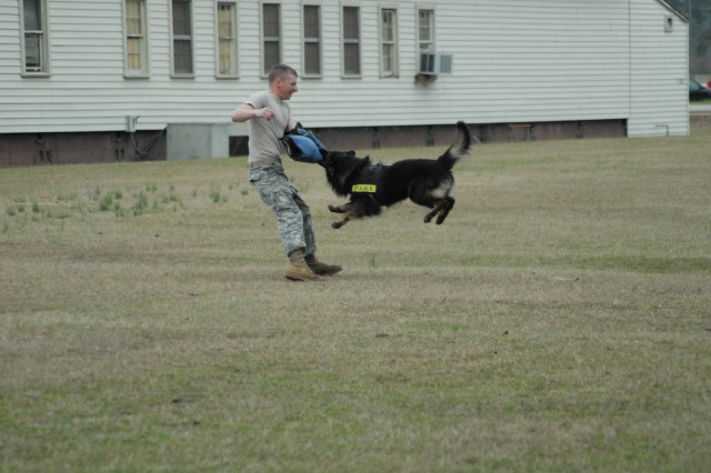 Gury, one of eight military working dogs at Fort Jackson, attacks Spc. Adam Burns as part of an exercise to practice attack work. The dogs are trained to attack suspects who attempt to flee from military police officers.
