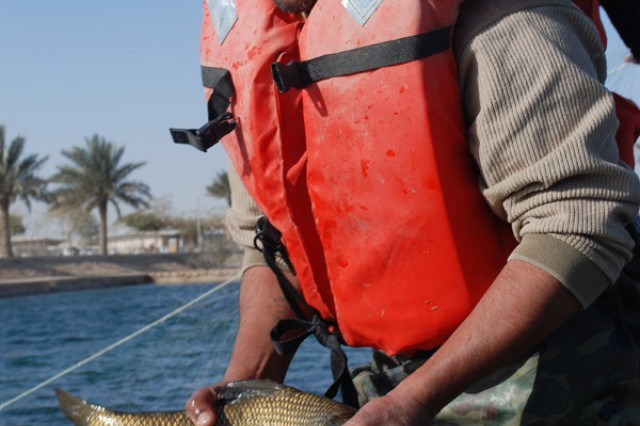 "The Multi-National Coalition - Iraq and its C9 Agriculture section is collaborating with the Iraqi government, and with some assistance from the 304th Civil Affairs Brigade, to repopulate three specific species of fish to the southeastern marshes of Iraq. The species are the Shaboot, Bunny, and Kattan (pronounced: Sha-boot, Buun-nee, and Kat-tan). Holding one of the key species needed for the project, is head fisherman Mr. Falah, as he transfers one of the captured ""Shaboot"" to the holding tank. One of the few places where these 3 species are found in abundance is in and around the lake complex of the Al Faw palace on Camp Victory, Iraq. The fish are being kept at Al Suwaira in the Wasit province, once the eggs hatch and become fingerlings of about 3 inches or so, they will be transferred to the marshes. The 304th Civil Affairs Brigade is a part of the U.S. Army Civil Affairs and Psychological Operations Command (Airborne), headquartered at Fort Bragg, N.C."""