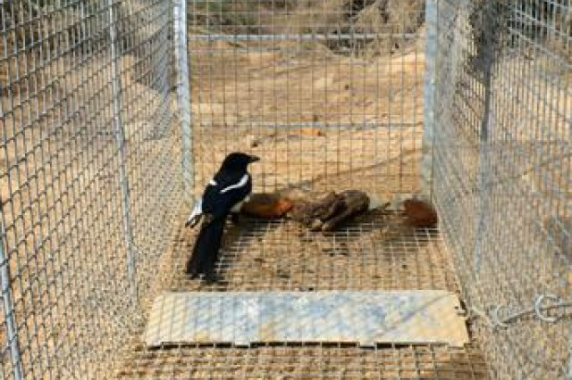 A Magpie, a bird caught and released in Al Asad, Iraq, April 2. Many animals are checked by the vetenarians, some vaccinated or treated for minor problems, then released back into the Iraqi countryside.