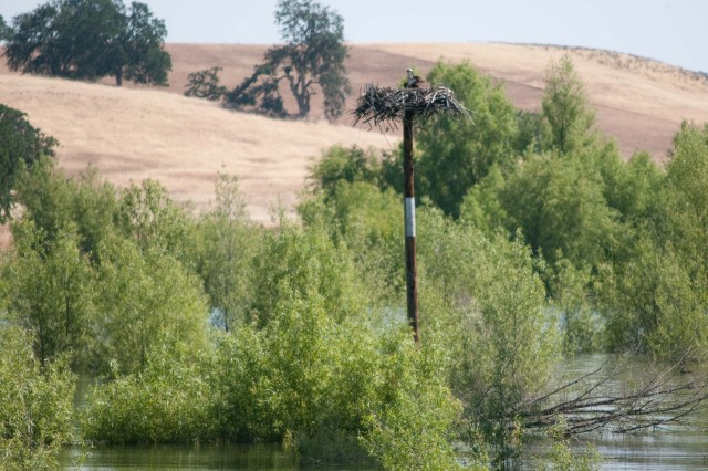 """BLACK BUTTE LAKE, Calif. (May 28, 2009) -- An osprey peers out from its nest atop an artificial habitat at Black Butte Lake, Calif. Park staff at the U.S. Army Corps of Engineers-managed lake have constructed five of the habitats to encourage species repopulation.  """"All of the nests we've put up are active,"""" says Black Butte park ranger Holly Myers, """"so we're pretty happy about that."""" The osprey has been designated a species at risk by the California Department of Fish and Game."""