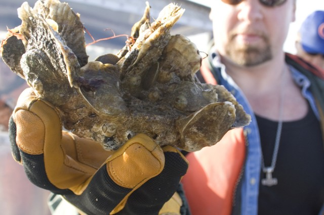 Norfolk District Oceanographer Dave Schulte displays a cluster of oysters which were growing on the district's sanctuary reefs in the Great Wicomico River.
