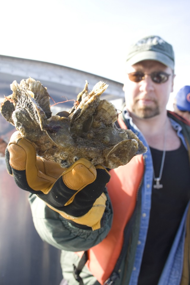 Great Wicomico Oysters