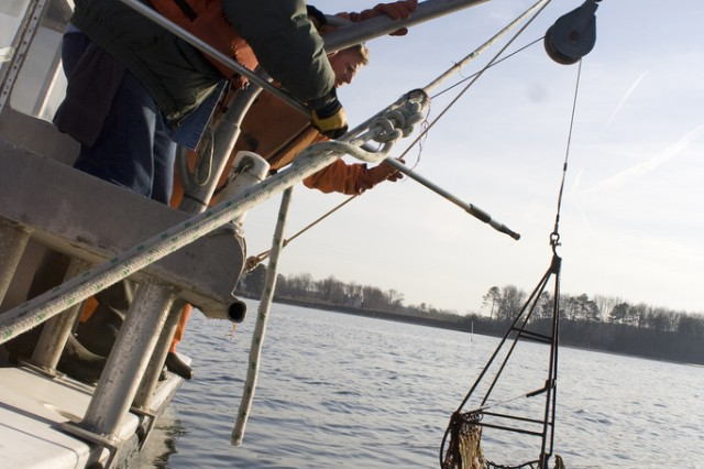 Researchers with the U.S. Army Corps of Engineers Norfolk District and the Virginia Institute of Marine Science pull up a sample of native oysters from the Great Wicomico River in Virginia to see how well their sanctuary reef is doing.