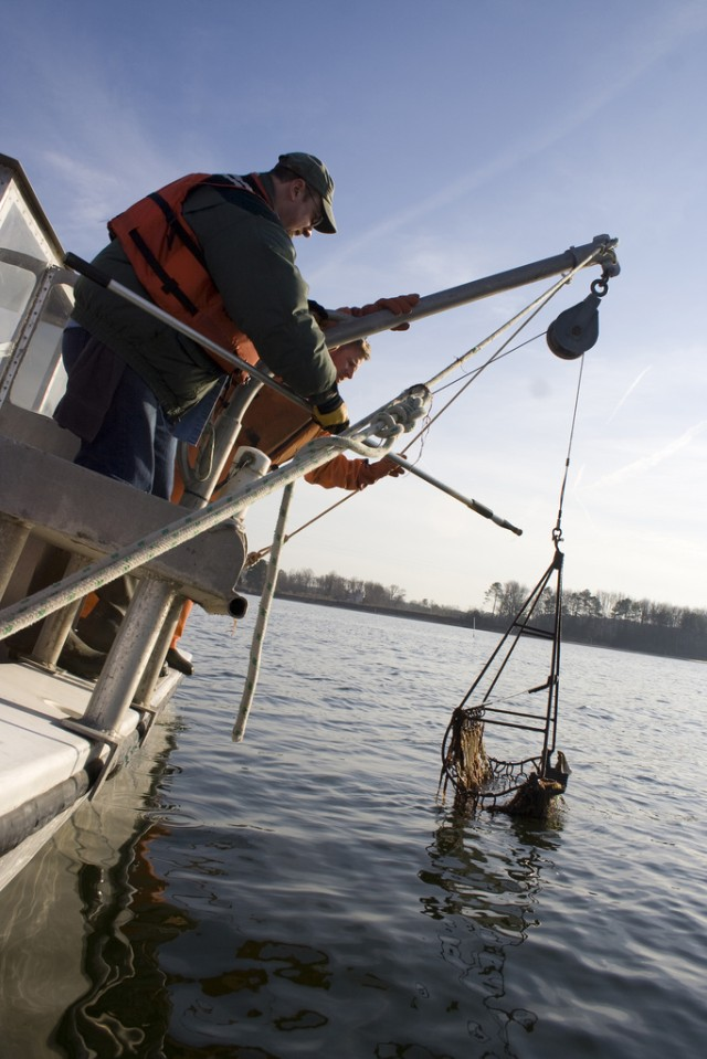 Great Wicomico River Oyster Sample