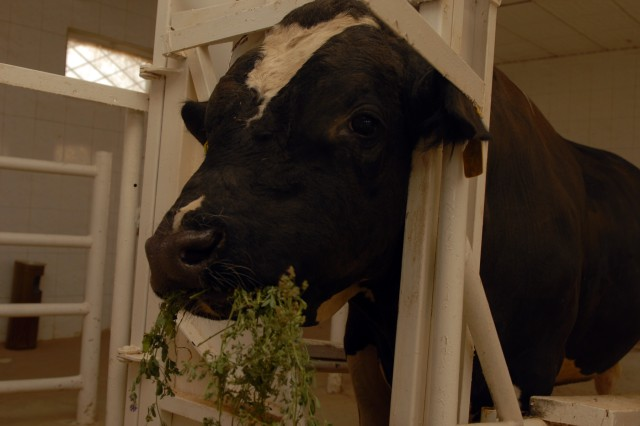 BAGHDAD - A Holstein bull munches on alfalfa at the University of Baghdad's College of Agriculture, Sept. 13. The bull is one of 30 Holsteins donated to the college by Australia in 2004 with the purpose of helping Iraqi farmers breed better dairy cows. Semen taken from the cows are frozen at the college laboratory and then distributed to Iraqi farmers who want to breed cows.