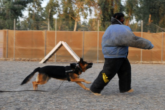 Staff Sgt. Dondrea Lewis tries to out run one of the Multi-National Corps-Iraq's military working dogs as a break from the usual noncommissioned officers development program classes.