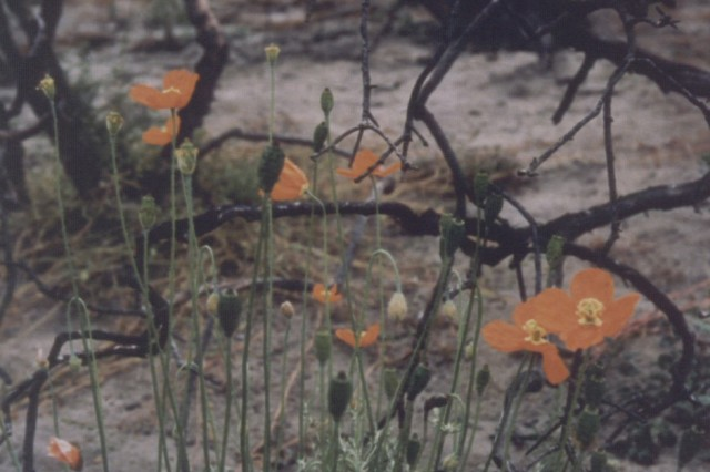 These poppies are growing a year after a prescribed burn, showing how quickly the wildland vegetation recovers, even thrives, after the ground cover is removed.