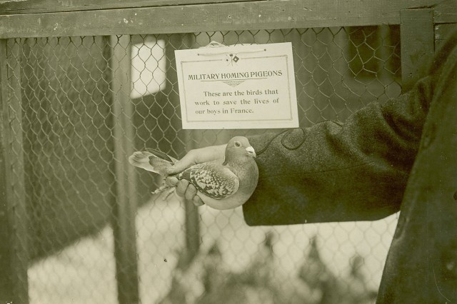 """A Fine, Feathered Friend:  This image provides a close up for one of stars of the show. It is captioned """"These homing pigeons are doing much to save the lives of our boys in France. They act as efficient messengers and dispatch bearers not only from division to division and from the trenches to the rear but also are used by our aviators to report back the results of their observation. (WWI Signal Corps Photograph Collection)."""