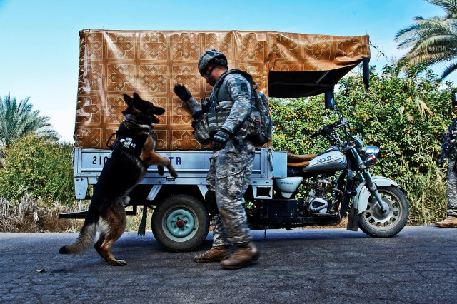 TAJI, Iraq - Supporting Soldiers from the 1st Air Cavalry Brigade, 1st Cavalry Division, during a traffic control point operation, Staff Sgt. Marcelo Fiqueroa, from Harrisburg, Pa., a working military dog handler in Division Special Troops Battalion, 1st Cav. Div., leads his dog, Sgt. 1st Class Lasso, during a search of a vehicle, here, Dec. 12. The Air Cav. Soldiers worked with Iraqi Army Soldiers from the 34th IA Brigade, to set up the TCP in support of a 1st Brigade Combat Team, 1st Cav. Div., clearing operation.