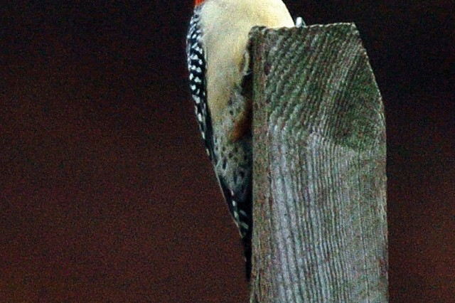 A red-bellied woodpecker identified by its red cap and zebra-like stripes on its back rests on a fence post near Accotink Bay.