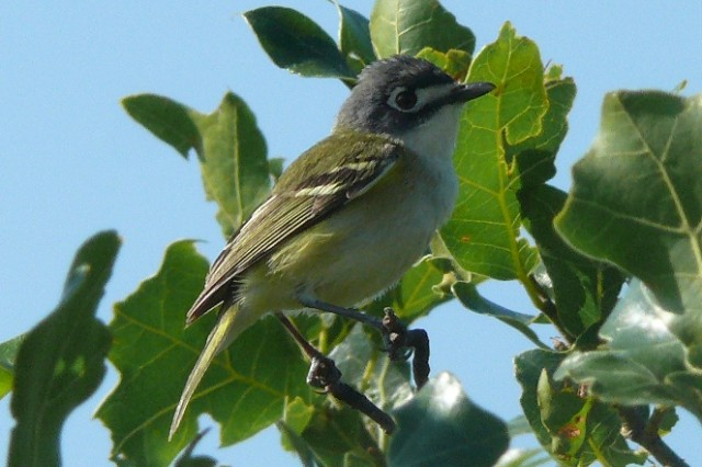 The female Black-capped Vireo is the only endangered species that calls Fort Sill home. It lives in the ranges and mountains of West Range.