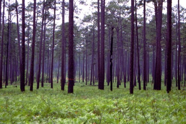 Mature pine forests, and the pines must be at least 80 years old. Longleaf pines are most commonly preferred.