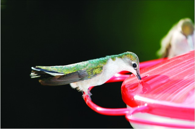 Ruby-throated Hummingbirds are among many bird species that sometimes visit Oxbow Meadows.