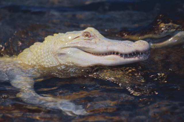 The rare albino alligator named Moonshine is on loan from the National Mississippi River Museum in Iowa. Moonshine is one of fewer than 100 albino alligators in the world. He is 4 feet 6 inches long and weighs 17 pounds.