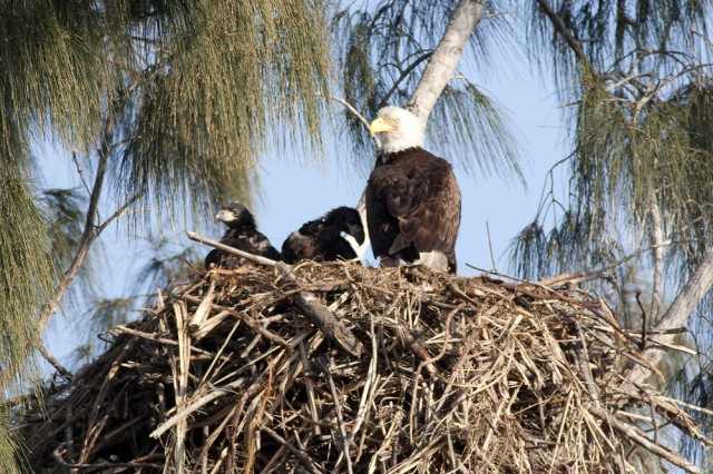 Two eaglets enjoy their nest and mother before relocation due to the Army Corps of Engineers'  Herbert Hoover Dike Rehabilitation Project.