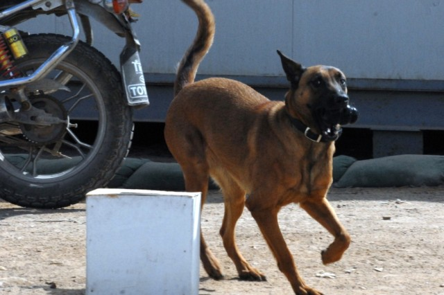 Annie, an Iraqi bomb-sniffing dog, plays with her toy, after finding explosives during a demonstration at an Iraqi National Police base in Najaf, Iraq, Feb. 27, 2010. Soldiers from Company C, 1st Battalion, 15th Infantry Regiment, 3rd Heavy Brigade Combat Team, 3rd Infantry Division, were present to view the demonstration and offer their insights on how their counterparts could employ the unit's dogs in the coming months.