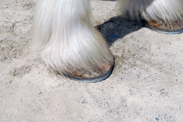 A close-up of a Clydesdale horse's foot reveal its enormous size and the wooly white hair that covers it.
