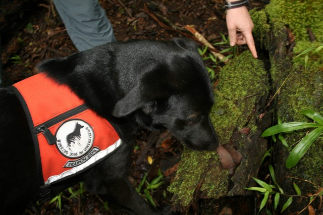 WAIANAE MOUNTAINS, Hawaii -- Wicket puts her nose to the ground sniffing for the Rosy wolfsnail. Wicket, on loan from Working Dogs for Conservation, helps researchers and conservation managers protect endangered species across the world.