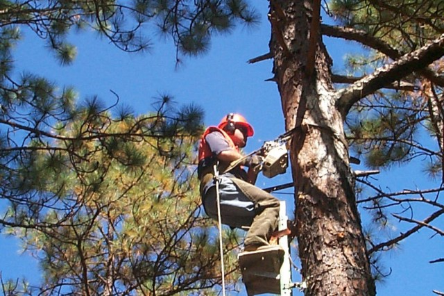 With the insert technique, a chainsaw is used to cut a rectangular hole into the pine tree and then a prefabricated wooden box is inserted.   A metal restrictor plate is added to prevent other woodpecker species from enlarging the entrance to the insert box and then wood putty and paint are added to make the insert look like a natural cavity.   Since efforts began, approximately 2,000 artificial cavities have been created in over 465 clusters to stabilize Red-Cockaded Woodpecker groups and grow the population.