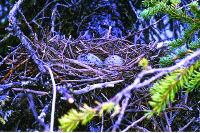 Do not remove nests once eggs have been laid, as in this mew gull nest.
