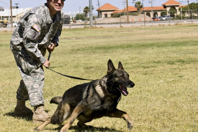 "FORT BLISS, TEXAS (May 19, 2010) Sgt. Jason Spalding, a Soldier with the 93rd Military Police Battalion's 72nd MP Detachment, and his military working dog Basco practice what MPs call ""controlled agression"" on post, May 19. The 72nd MP Det. is a specialized unit within the 93rd MP Bn. which supports Fort Bliss' Directorate of Emergency Services by providing Soldiers that work in the sections of MP investigations, canine, desk operations, physical security, and traffic enforcement."