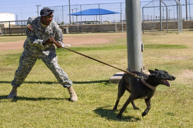 "FORT BLISS, TEXAS (May 19, 2010) Sgt. Eugene Tolbert, a Soldier with the 93rd Military Police Battalion's 72nd MP Detachment, and his military working dog Laika, a 5-year-old Belgian Malanois, practice what MPs call ""controlled agression"" on post, May 19. The 72nd MP Det. is a specialized unit within the 93rd MP Bn. which supports Fort Bliss' Directorate of Emergency Services by providing Soldiers that work in the sections of MP investigations, canine, desk operations, physical security, and traffic enforcement."