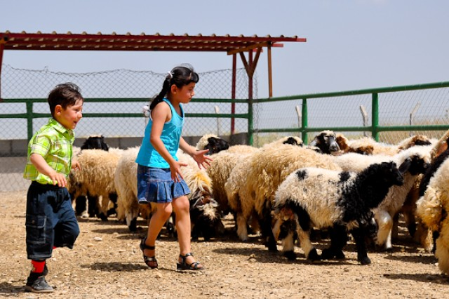 Local children play with sheep that are to be distributed to 4,500 local farming families throughout Ninewa province as part of a joint venture by the U.S. military and local Iraqi officials.