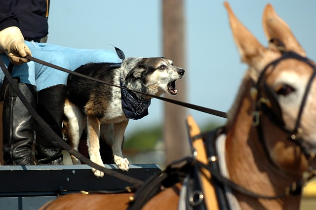 """FORT HOOD, Texas-Newly promoted Sgt. Buddy barks out """"commands"""" at the mule team during a recent 1st Cavalry Division ceremony. Sgt. Buddy was promoted during a quiet ceremony May 27, at the Horse Cavalry Detachment's headquarters, here."""