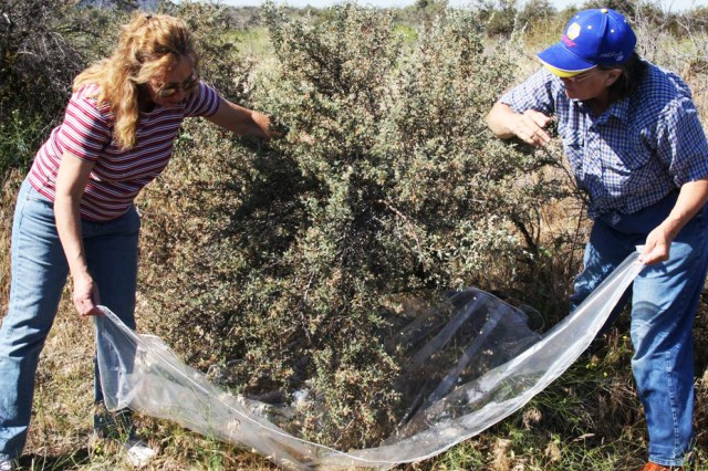Ruth Whittaker, right, manager of the Tribal Native Plant Nursery near Pendleton, shakes seeds loose from the branches of a bitterbrush bush on the Umatilla Chemical Depot, with the help of depot employee, Michele Martin.