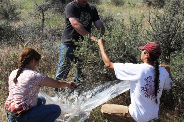 Max Fairchild, standing, and John Watchman of the Tribal Native Plant Nursery near Pendleton collect seeds from a bitterbrush plant with the help of Laura Harriman of the Umatilla Chemical Depot.