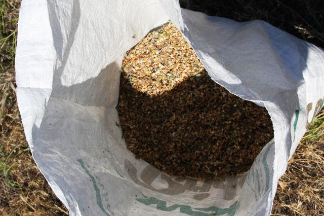 It didn't take long for representatives of the Tribal Native Plant Nursery near Pendleton to collect thousands of bitterbrush seeds on the Umatilla Chemical Depot recently.