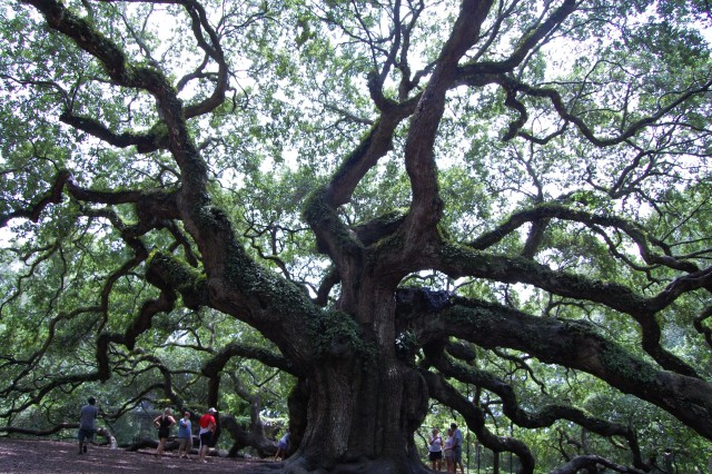 The Angel Oak tree, which is an estimated 300-400 years old and stands 65 feet, is a popular tourist visiting spot.