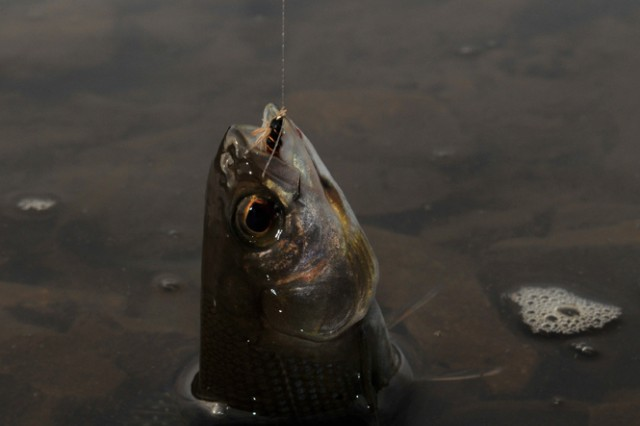 FORT WAINWRIGHT, Alaska - After a short battle, the fisherman had to release the arctic grayling on the end of his line.