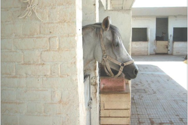 An Arabian horse peers out from a stable before being transported to the Baghdad Zoo in 2003.  After the Iraq invasion, Sumner and a small group of people helped to increase the zoo population from 32 to 120 animals, including 16 Arabian horses.